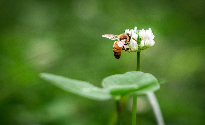 Bijen en bloem